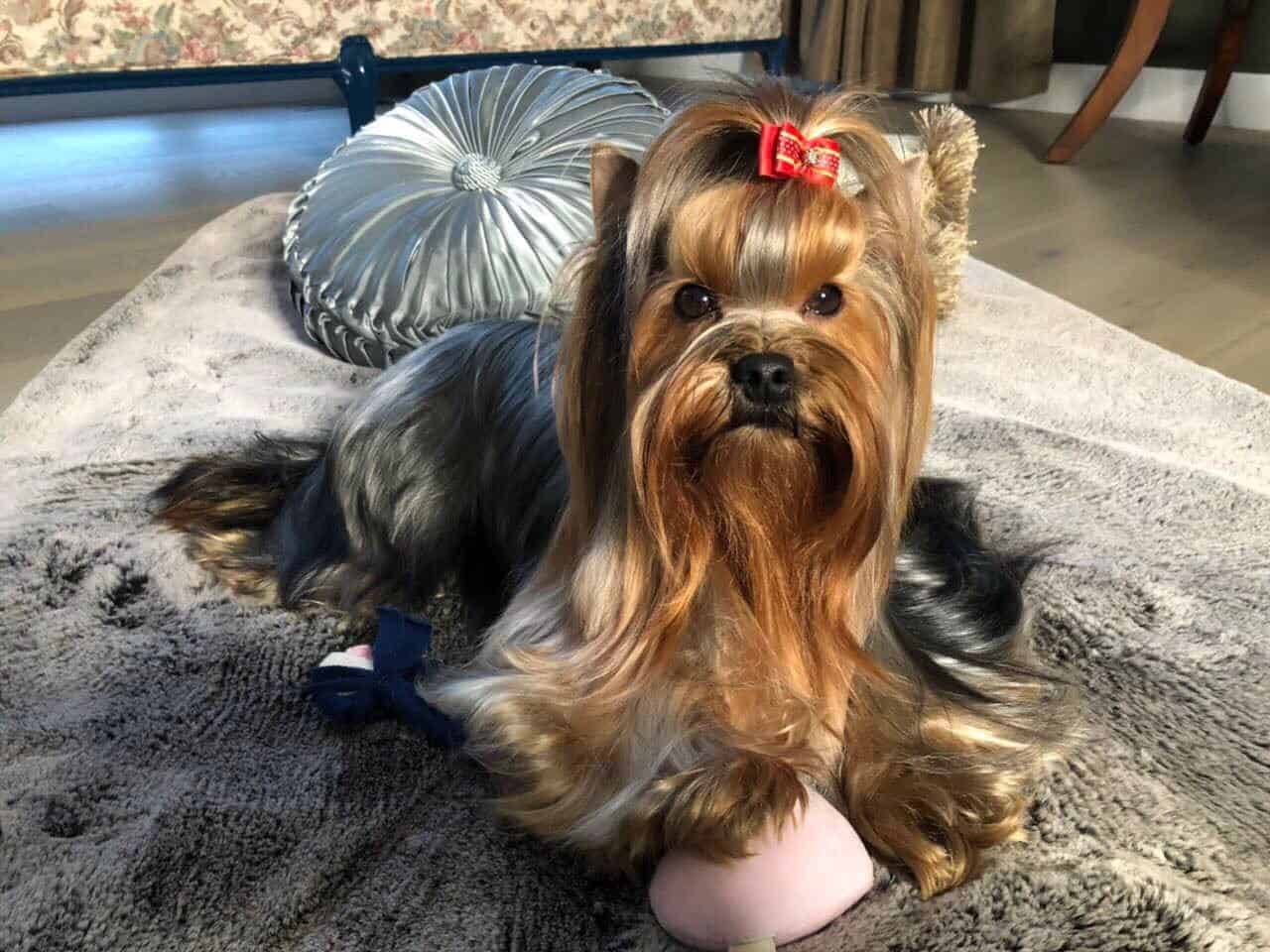 Yorkshire terrier sitting on carpet